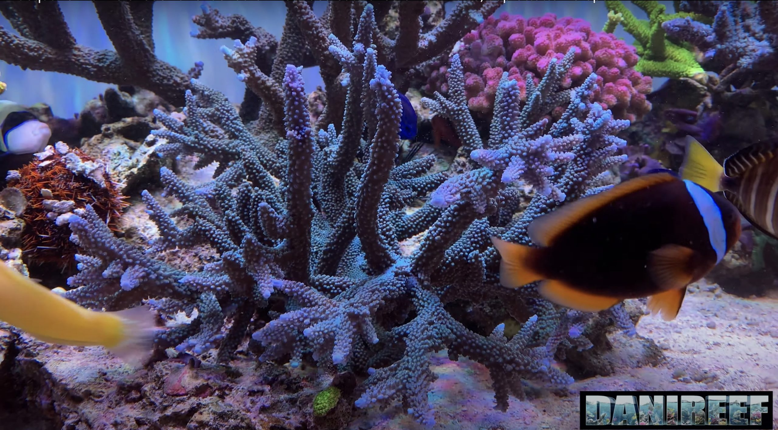 corail rapide grandir sps orphek atlantik