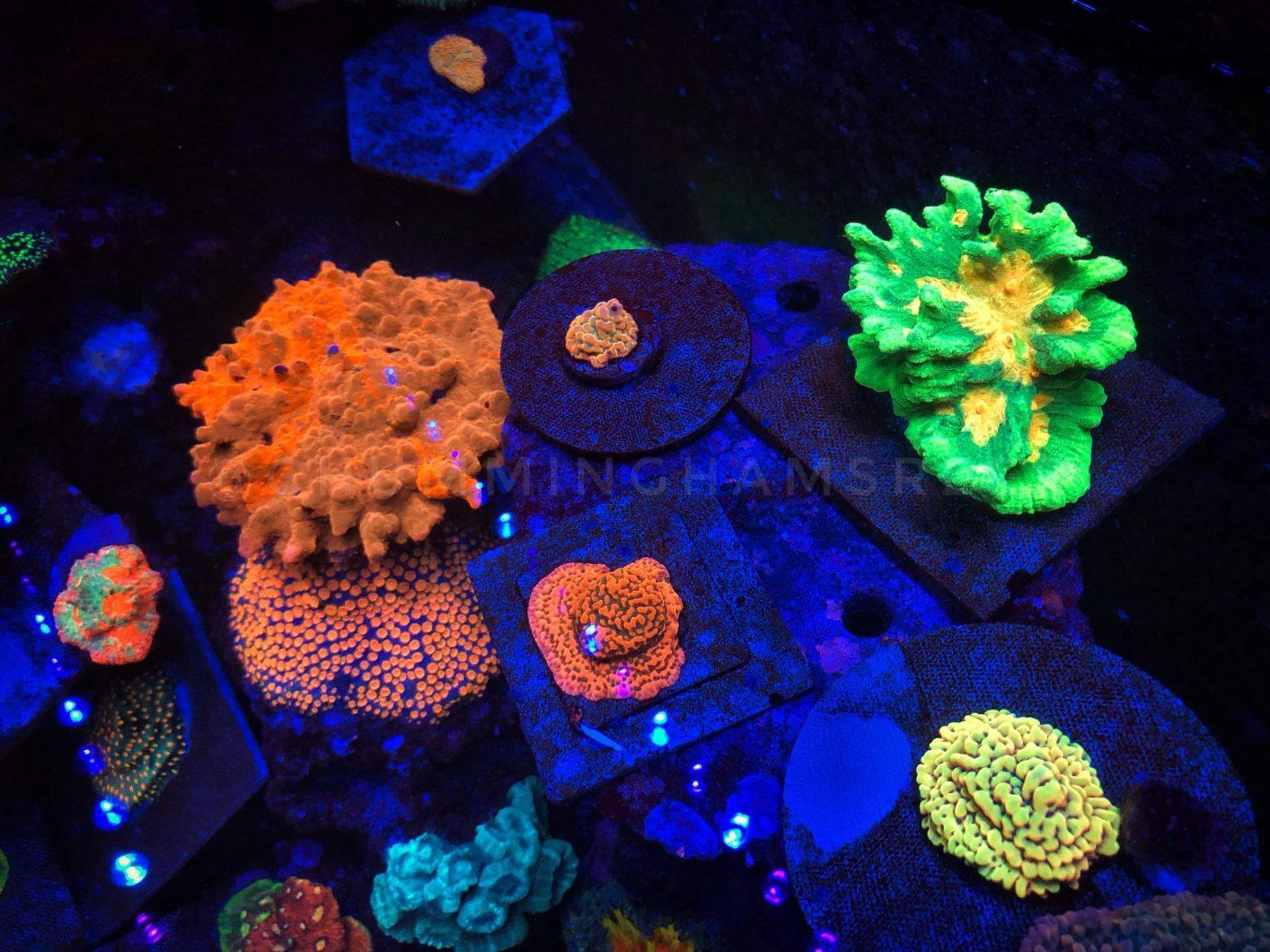 Coral Pop under OR3 LED Bars