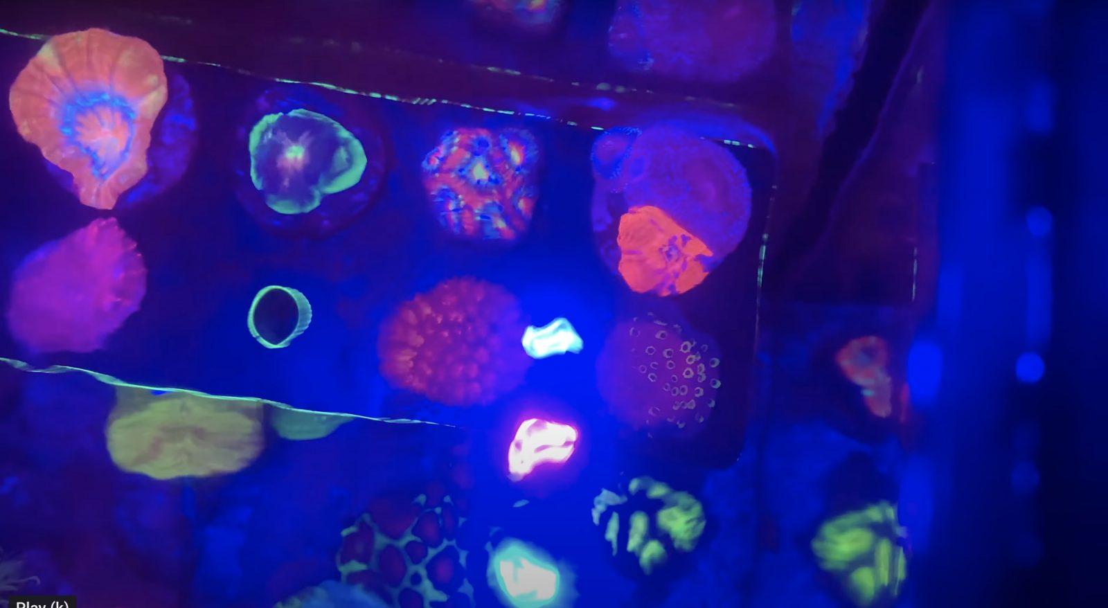 Korallenroter Pop unter der Orphek OR3 LED-Leiste