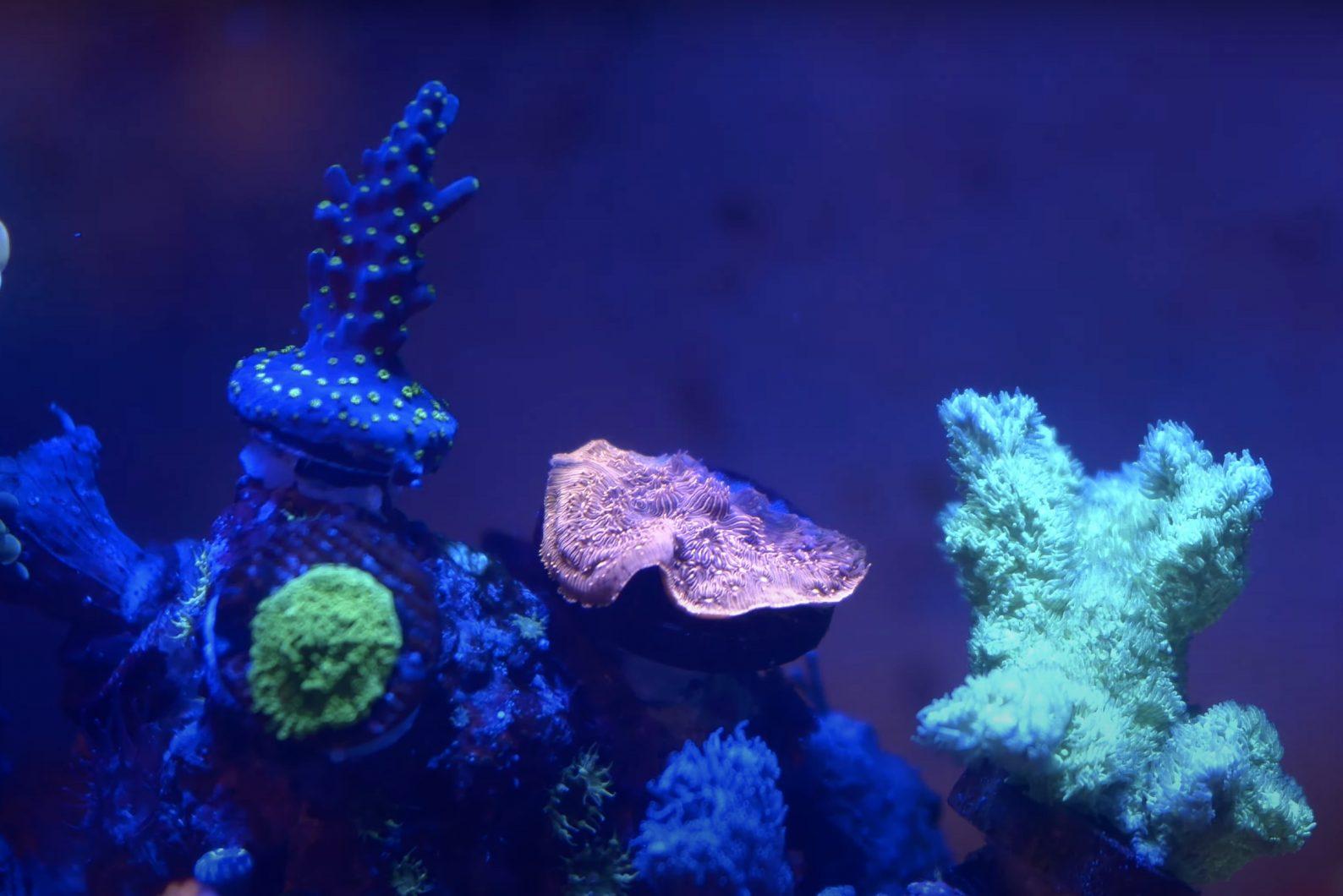 Korallen schließen sich unter OR3 LED Bar