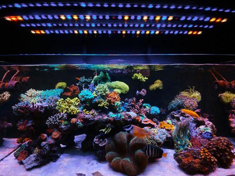 Niesamowite 1-letnie akwarium rafowe bez zmiany wody pod paskiem LED Orphek OR3