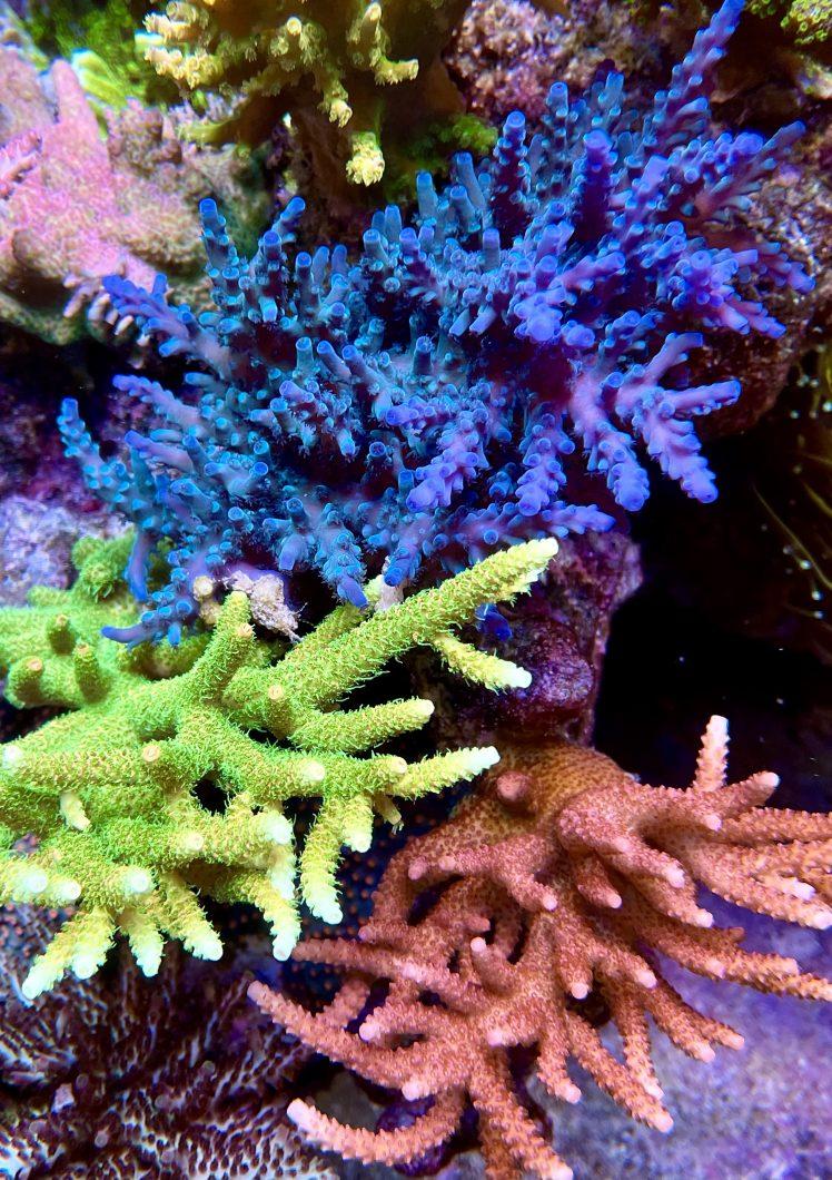 Blauw en groen sps koraal