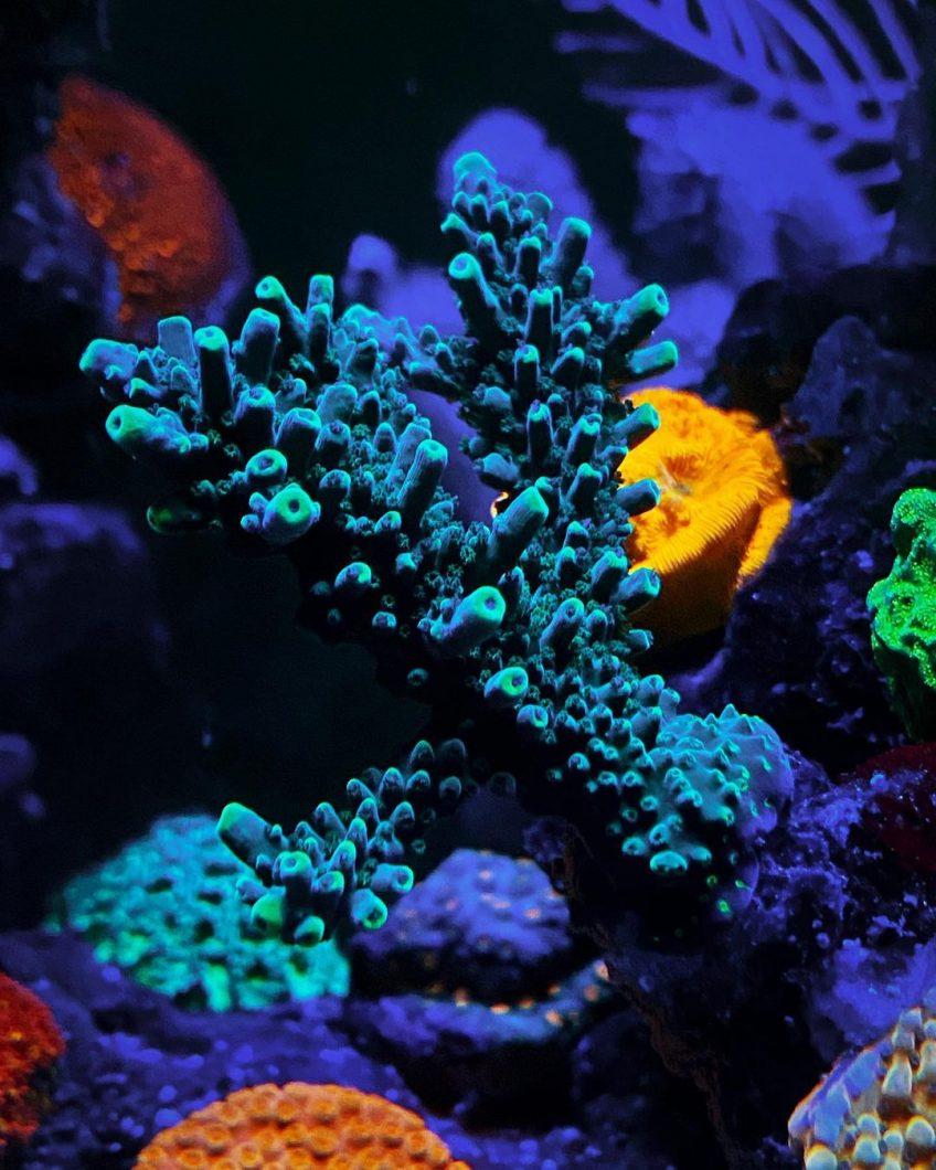 coral fluorescent_violet_orphek