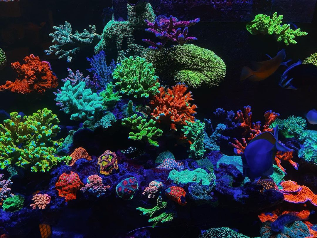 strong_coral_color_orphek_or3_led