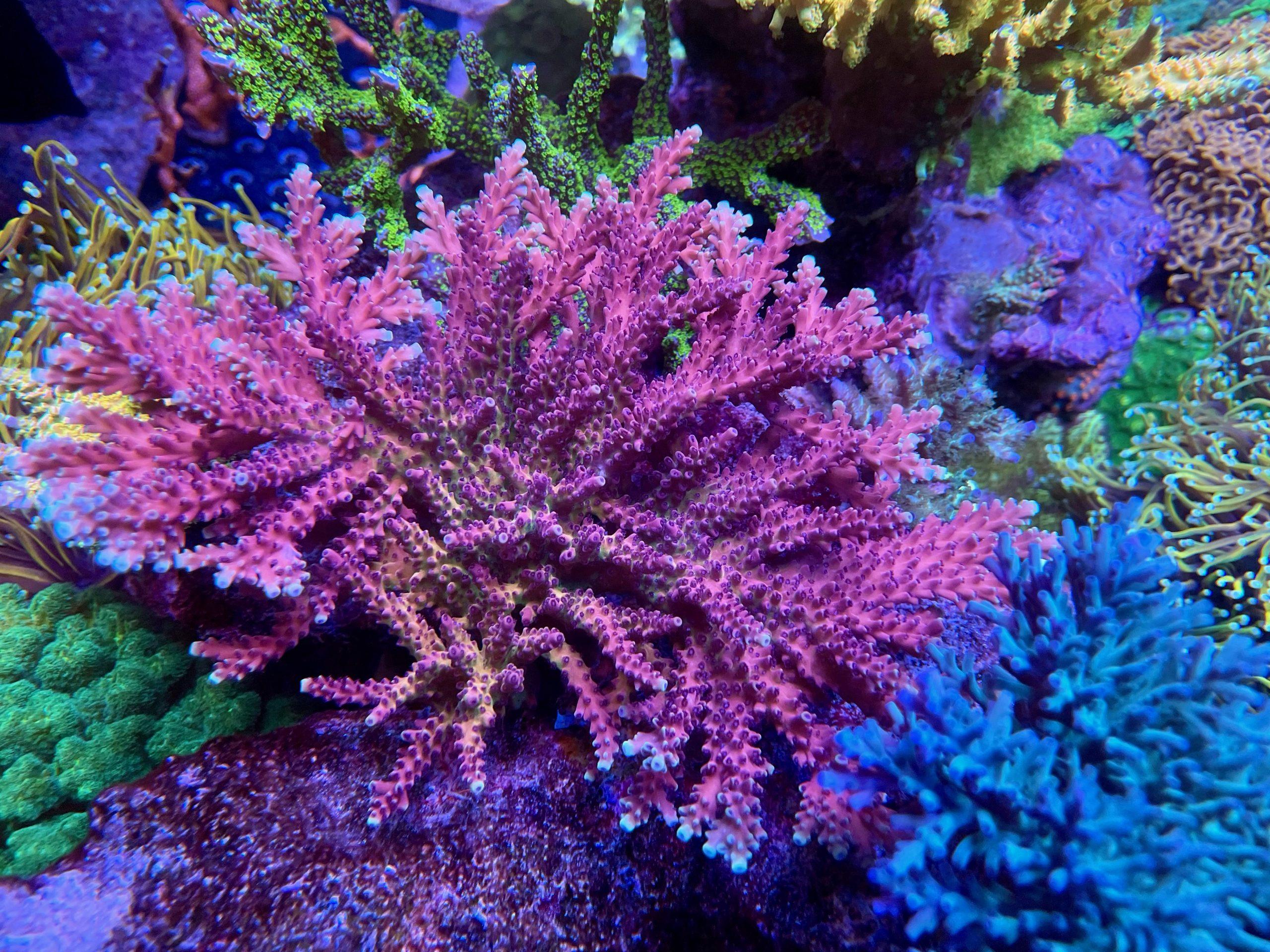 roze sps koraalrif aquarium