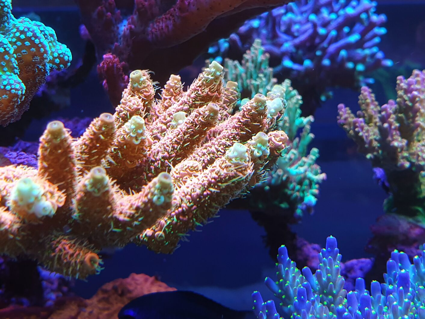 sps coral close-up